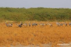 A flock of Saras